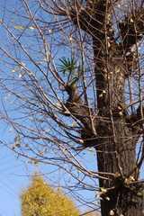銀杏の枝に育つ棕櫚