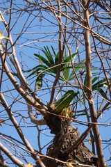 銀杏の枝に育つ棕櫚2