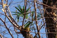 銀杏の枝に育つ棕櫚3