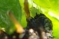 テントウムシの幼虫、食事中。クリックして大きくしてくださいね。t200