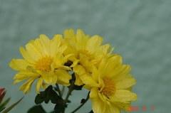 スプレー菊。クリックすると大きくなりますR1。