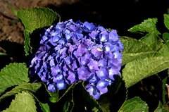 この時期に紫陽花が楽しめます。クリックして大きくしてくださいね。t200