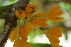 金木犀開花。クリックして大きくしてくださいね。t200