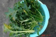 京菜、収穫。クリックすると大きくなりますR1。