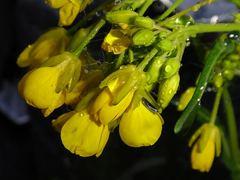 京菜の花も雨の中。クリックすると大きくなりますtx7。