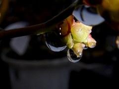 ブルーベリーの蕾も雨の中。クリックすると大きくなりますtx7。