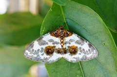名前がわかりませんが綺麗な蛾でした。クリックすると大きくなりますα55。