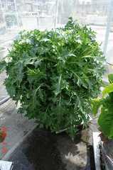 底面給水型コンポストタワーの茎広京菜。クリックすると大きくなりますR1。