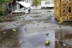 台風の影響でアイコの実が大量に落下しました