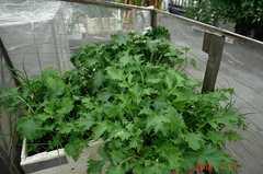 夏の茎広京菜。クリックすると大きくなりますR1。