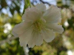 この時期に?冬桜。クリックすると大きくなりますtx7。