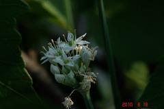 韮の花が咲き出しました。クリックすると大きくなりますR1。