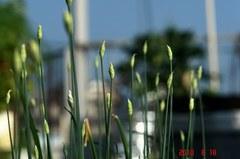 またニラの花芽がたくさん出てきました。クリックすると大きくなりますR1。