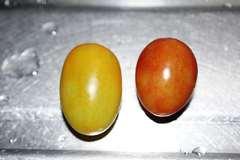 赤アイコ黄アイコ収穫