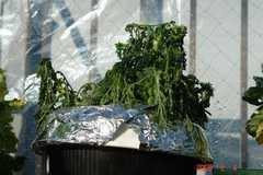 ゴミ箱水耕の春菊がぐったり・・・。クリックすると大きくなります。r