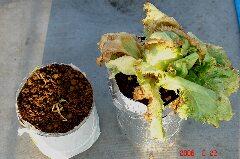 暑さにやられた水耕ニンニクとレタス。クリックすると大きくなります。r