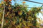 水耕栽培ミニトマト、アイコ