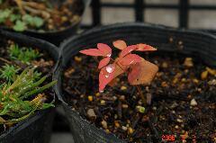 3月2日、葉っぱの先端に色の変化が。クリックすると大きくなります。r
