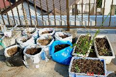 何とか残りの苗も袋に植えてアスパラガスコーナーの完成です。クリックすると大きくなります。r