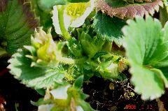 四季っ子、年中収穫が出来るはず。中心に花芽が沢山準備中です。クリックすると大きくなります。r