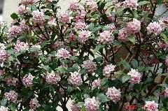満開の沈丁花。ユキヤナギの隣に咲いています。この場所は南北の細長い通路で正午あたりの短い時間しか日があたりません。それでも沢山の花を毎年楽しませてくれます。クリックすると大きくなります。r
