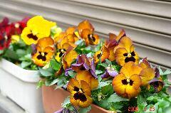 ご近所さんのプランター。沢山の花が飾られていました。ぱっと見た目黄金色だったのでついついパチリ。私にとっては珍しい色だったので撮影したのですが、ルプレさんやマリリンさんにとっては当たり前のパンジーなのでしょうか?クリックすると大きくなります。r