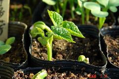 インゲン。手前に枝豆の頭がちょこっと見えてます。クリックすると大きくなります。r