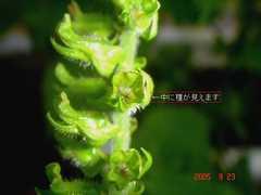 青紫蘇(大葉)の種。クリックすると大きくなります。t