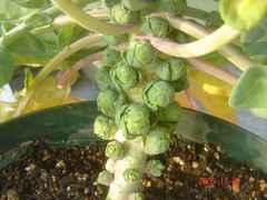 芽キャベツ、大きくなって来てますよ。