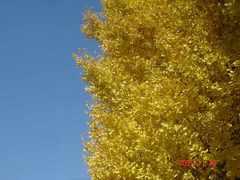銀杏の黄色と青空。クリックすると大きくなります。