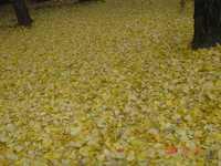 銀杏の黄色い絨毯。クリックすると大きくなります。