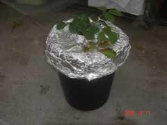 ゴミ箱水耕栽培のイチゴの様子です。クリックすると大きくなります。