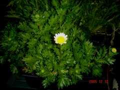 春菊の花、意外と地味。クリックすると大きくなります。