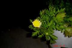これは春菊でしょう、たぶん。クリックすると大きくなります。