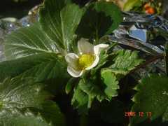 ゴミ箱水耕栽培のイチゴの花です。クリックすると大きくなります。