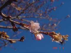 また咲き始めました。クリックすると大きくなります。