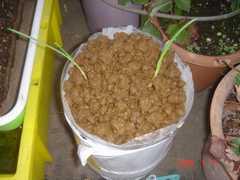 ペットボトル水耕栽培にセットしてみました。クリックすると大きくなります。