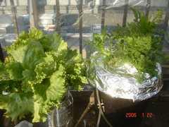 ゴミ箱水耕の春菊に使っているエアーレーションを分岐しました。クリックすると大きくなります。