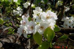 この梨の花は綺麗です。豪快かつ繊細な花です。クリックすると大きくなります。t