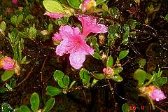 躑躅(つつじ)の開花。クリックすると大きくなります。t