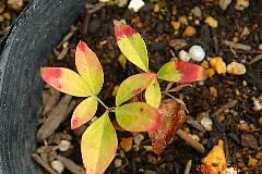 赤い葉っぱは緑へと変化しています。クリックすると大きくなります。r