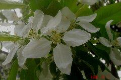 梨の花ですかねぇ?クリックすると大きくなります。t