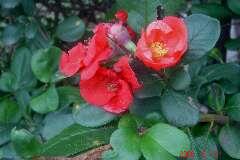 このボケは春の満開以来ポツリポツリと咲き続けています。クリックすると大きくなります。t