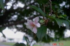 未だに咲く、冬桜。クリックすると大きくなります。t
