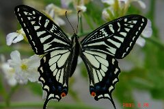 羽を広げたところ、綺麗です。クリックすると大きくなります。r