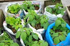 枝豆も混植にいいですよ。クリックすると大きくなります。r