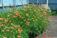 無数の芥子の花。クリックすると大きくなります。r