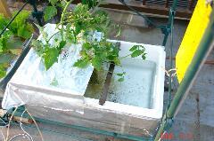 水耕アイコ2つ目。クリックすると大きくなります。r