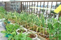ニンニクたちがボチボチ収穫してよのサインを送ってきてますので今週末収穫します。クリックすると大きくなります。r