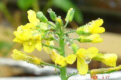 2・芽キャベツの花、育てはじめてから9ヶ月掛かってます。クリックすると大きくなります。r